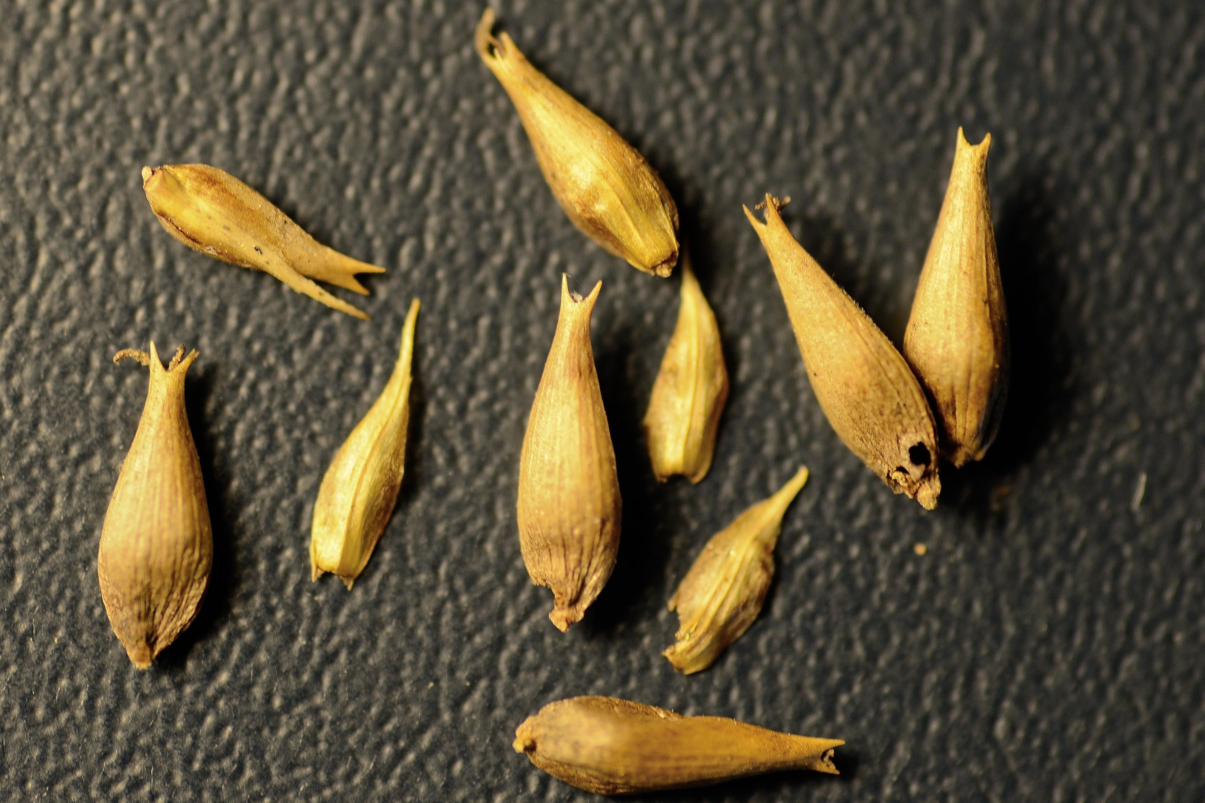 C. lacustris